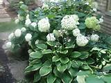 Hydrangea Shade Garden | Perennials, Shade Garden ideas - Hosta ...