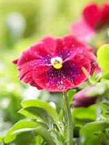 pansy prefers http www bhg com gardening flowers perennials early