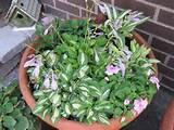 Mini Hosta Garden. | Mini hostas | Pinterest