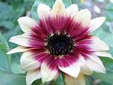 strawberry blonde sunflower garden ideas pinterest