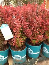 barberry orange rocket more barberry orange flowerpot 1