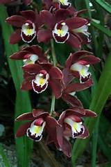 art cymbidiums back yard ideas backyard ideas pinterest
