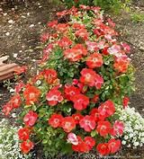 way to design a rose garden http qesign org rose garden design html