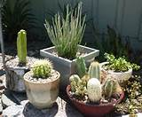 Potted Cacti & Succulent Mix contemporary-landscape
