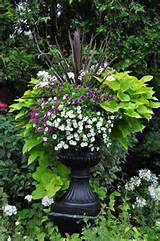 Garden Urns and Contemporary Containers :: Hometalk: Sweet Potato Vine ...