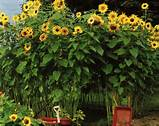 sunflower fort d garden pinterest