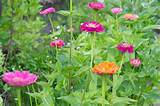 zinnias | flower garden ideas | Pinterest