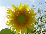 this giant sunflower is 14 inches in width and 7 feet tall huge only