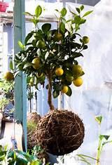 string gardening....lemon tree | Garden Ideas | Pinterest