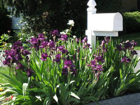 Mailbox Garden Idea #3: A Simple Iris Bed for Color and Height