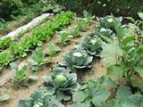 Home Garden Vegetables Ideas