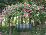 Climbing Rose | Garden ideas | Pinterest