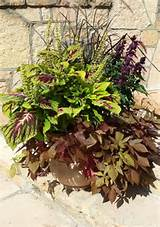coleus with sweet potato vines gardening ideas pinterest