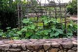 Winter Squash vines are large and they sprawl. Train them up a twig ...
