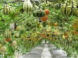 ... gourd :: vertical garden :: garden trellis :: finecraftguild.com