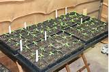 tomato tplants jun26 739 jpg