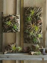 tillandsia on driftwood wall garden panels inspired by parisian wall