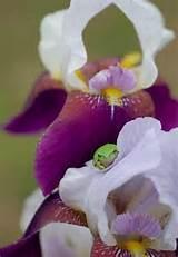 Iris - Garden Ideas | Gardening | Pinterest