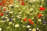 gorgeous wild flower garden | Home Ideas | Pinterest