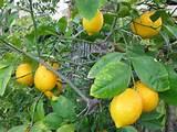 Lemon Tree Fertilizer - How To Feed Growing Lemon Trees