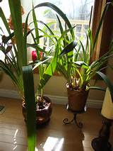 green cymbidium orchid plant indoor plants gardening in the lines