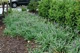 liriope spicata image search liriope spicata creeping lily turf