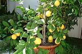 Meyer Lemon Tree | From a Tiny Seed (or Spore) | Pinterest