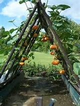 vertically growing pumpkins on an a frame permaculture stacking