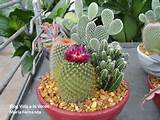 Indoor Cactus Garden Ideas | Cryptanthus bivittatus (Earth Star ...