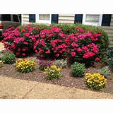 Knockout roses | To plant | Pinterest