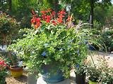 Full Sun Container | Garden of Eden | Pinterest