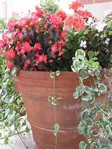 begonia and vinca vine container garden idea for partial shade