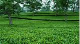 23. TEA CULTIVATION IS SRI LANKA ~ Ideas in Action (E-Magazine)