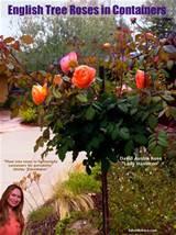Miniature Rose Garden Designs http://edenmakersblog.com/?p=5312