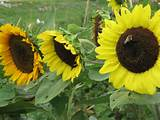 stay gardening sunflowers are the bones of many gardens