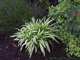 Full size picture of Variegated Lily Turf, Lilyturf, Monkey Grass ...