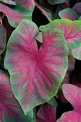 brandywine caladium planting some type this year really want the