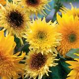 sunflower starburst mix hybrid plants flowers veggies shrubs e