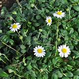 Miniature Fairy Garden Bellium minutum, Miniature Daisy by Miniature ...