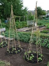 growing beans above is a small space version of the bean tee pee your