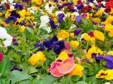 pansy plants information on growing pansies