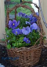 pansies I am ready for spring. | Garden and Yard Ideas | Pinterest