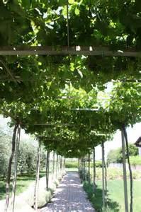 Grapevine trellis | Garden Ideas | Pinterest