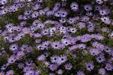 ... _Fall_Aster_Aromatic_Xeriscaping_design_Austin_Texas_Native_Plants