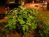 fig tree with unripe figs at night in a yard in a residential
