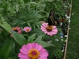 my butterfly garden garden ideas pinterest