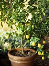 lemon trees love the outdoors learn how to grow from seed