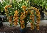 ve cultivated cymbidiums but never achieved one like this