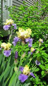 My Irises | Iris Ideas for the Garden | Pinterest