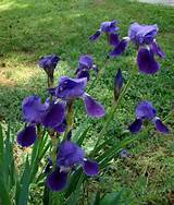 blue iris | Garden ideas | Pinterest